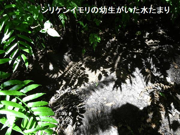 シリケンイモリの幼生がいた水たまり