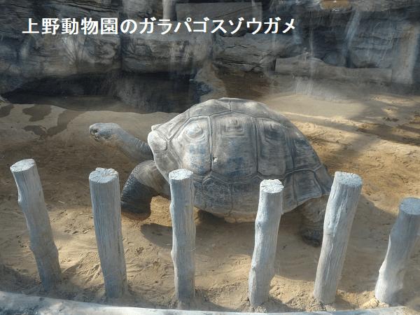 上野動物園のガラパゴスゾウガメ