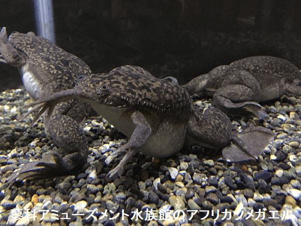 蓼科アミューズメント水族館のアフリカツメガエル