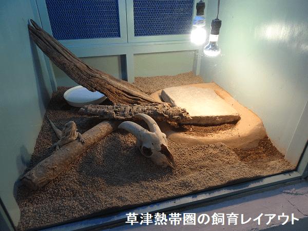 草津熱帯圏のフトアゴヒゲトカゲ飼育レイアウト