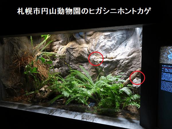 札幌市円山動物園のヒガシニホントカゲ