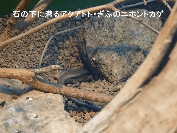 石の下に潜るアクアトト・ぎふのニホントカゲ