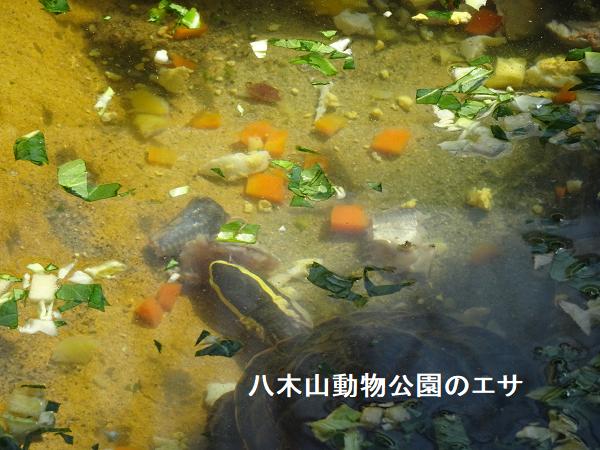 八木山動物公園のマレーハコガメのエサ