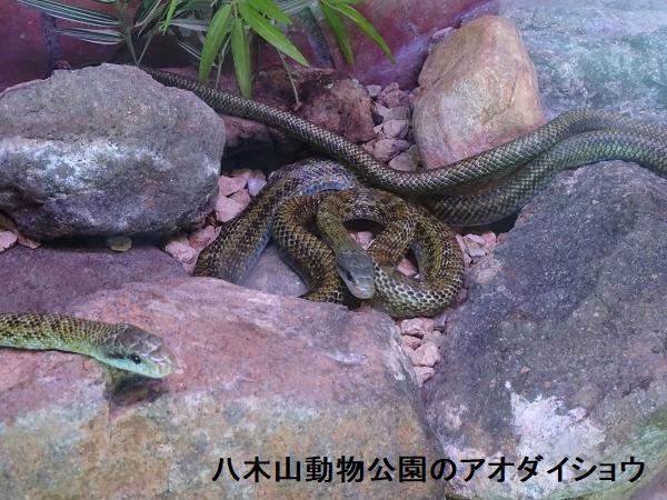 八木山動物公園のアオダイショウ