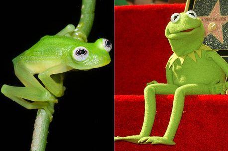 main glass frog