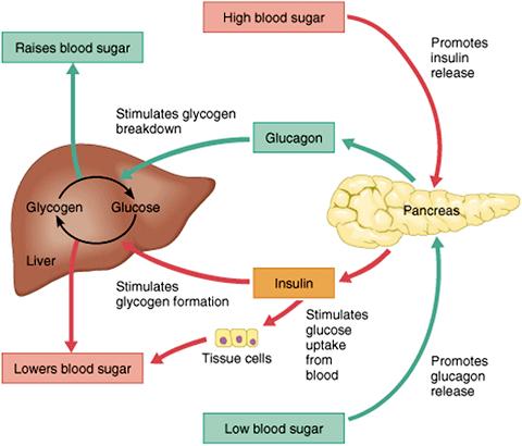 Normal blood sugar hormones