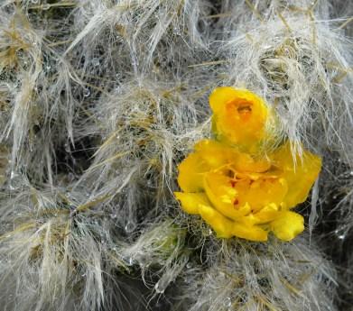 A delicate mountain cactus in the rain