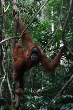 Female orangutan with baby orangutan