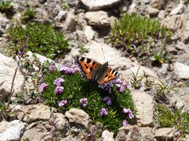 Schmetterling auf den winzigen Blümchen