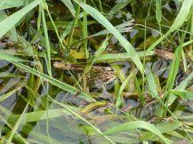 Frosch im Graben