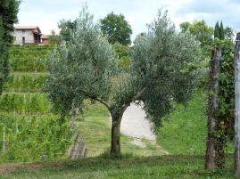 Zwischen den Weinbergen stehen die Oliven