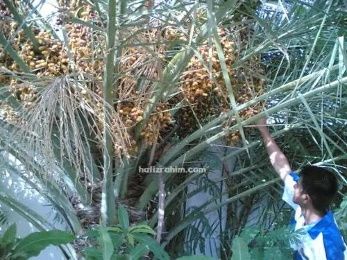 petik kurma di pokok