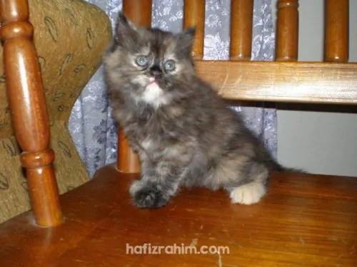 Tortie persian cat