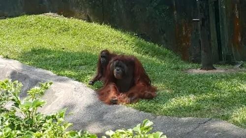 Orang Utan Zoo Negara