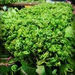 Penjual sayur midin simpan 1 gram emas dlm akaun GAP setiap hari!~