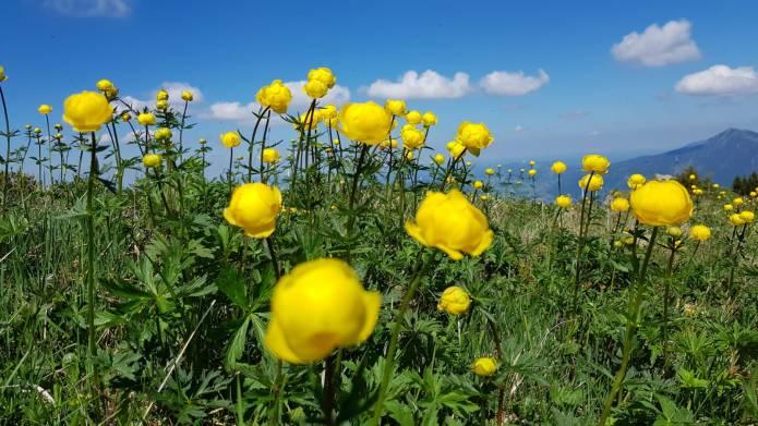 Trollblumen vor blauem Himmel