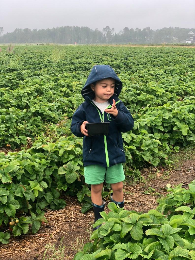 Fireåring i jordbæråker.