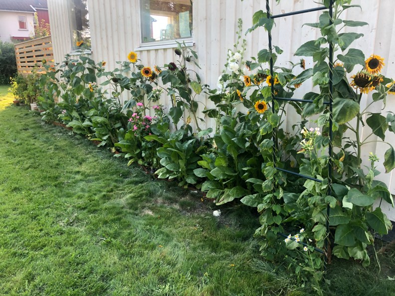 Solsikker og stokkrose i blomsterbedet