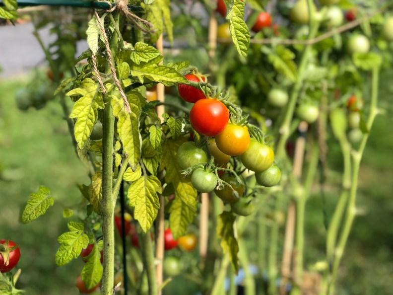 tomater plante selv