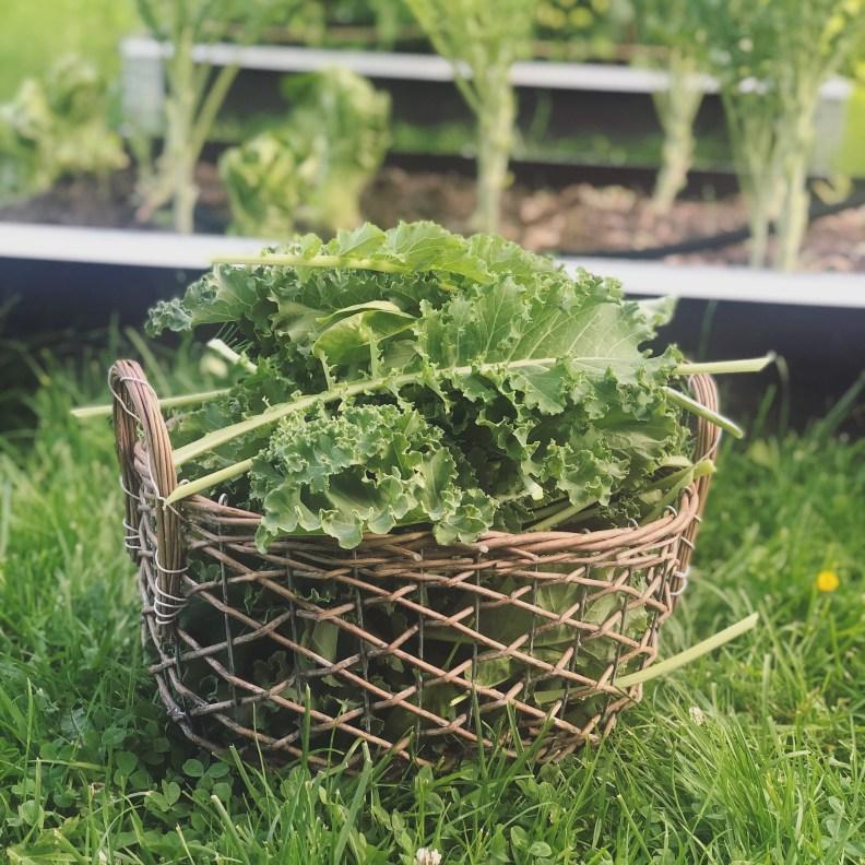 Kurv med grønnkål fra kjøkkenhagen