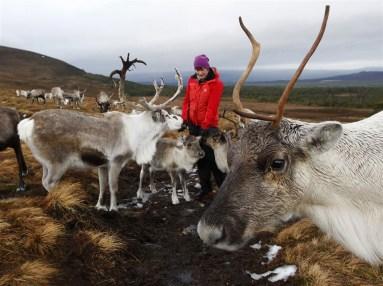 Aviemore Reindeer Herd