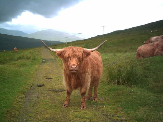 Highland_cow_on_West_Highland_Way