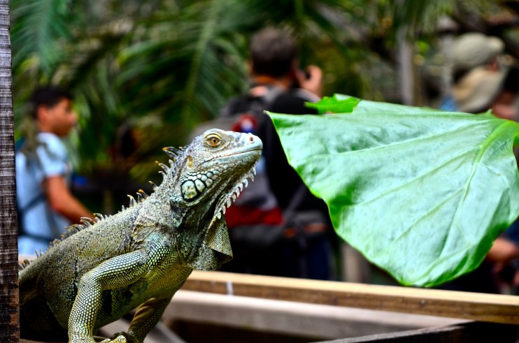 Feed the iguanas or observe from a distance