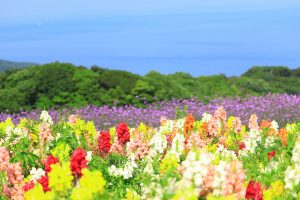 Bunga Awaji di Hyogo Jepang