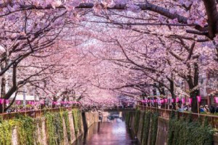 Bunga Sakura di Sungan Meguro