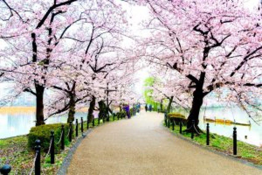 Bunga Sakura di Taman Ueno