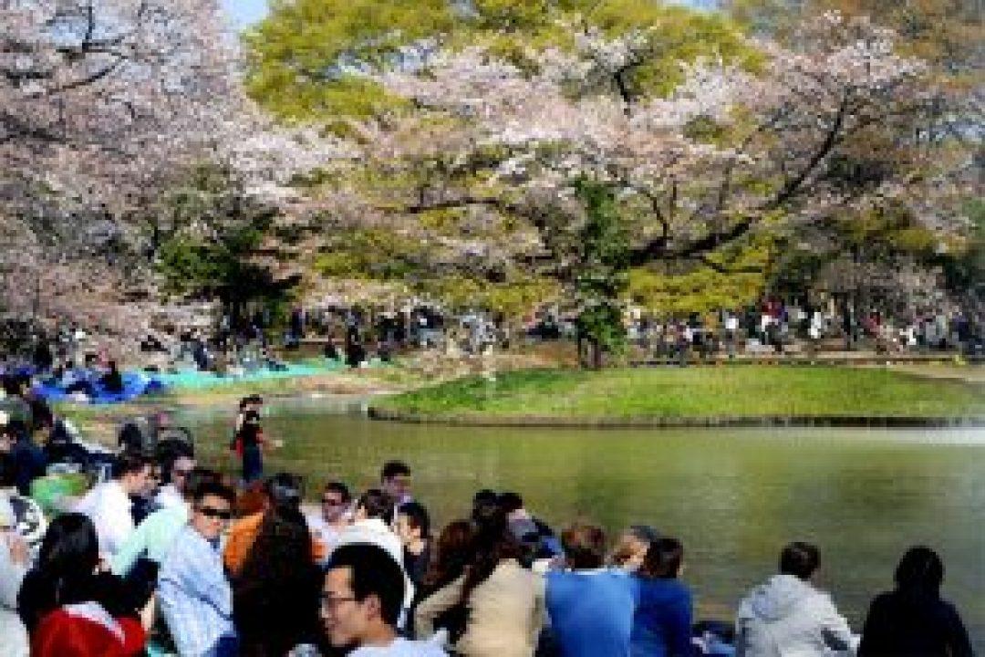 Bunga Sakura di Taman Yoyogi
