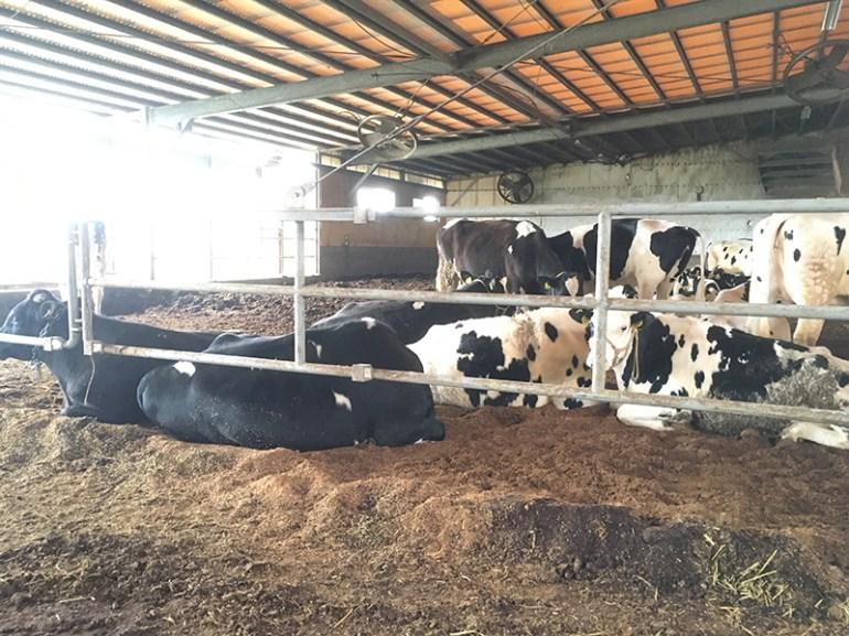 風の牧場 牛の様子