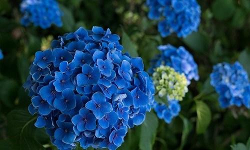 夏の季語『紫陽花(あじさい)』