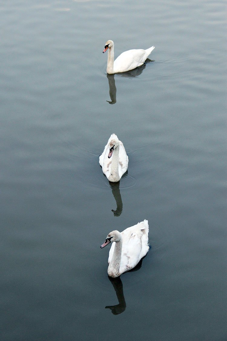 3 swans on Tam Bac river