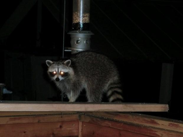racoon 2