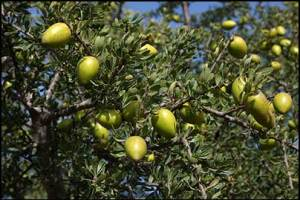 argan-oil-from-argan-tree