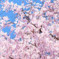 桜が咲いてから咲き終わるまでの期間限定!さくらシャンプーキャンペーン