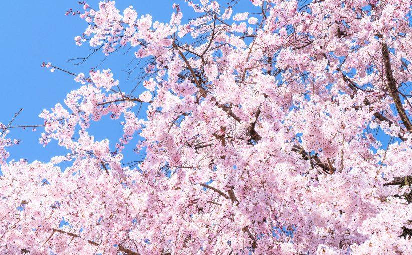 【終了しました】桜が咲いてから咲き終わるまでの期間限定!さくらシャンプーキャンペーン