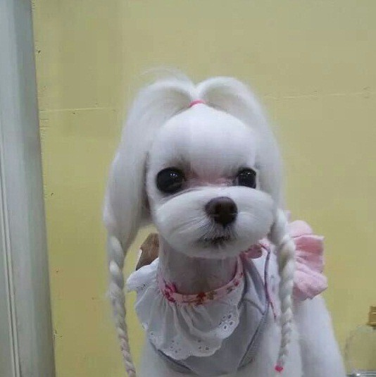 Cute maltese dog haircuts the best haircut of 2018 maltese poodle mix maltipoo haircut winobraniefo Image collections