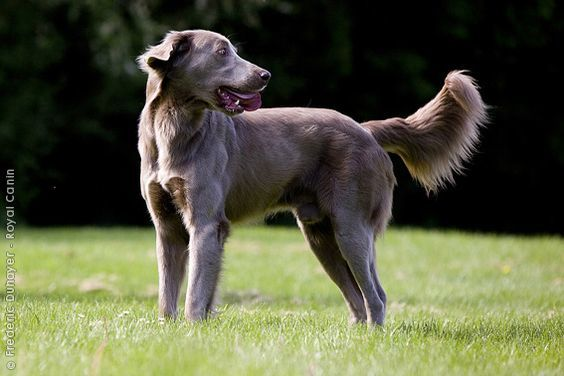 15 Useful Long Haired Weimaraner Care Pointers 2019