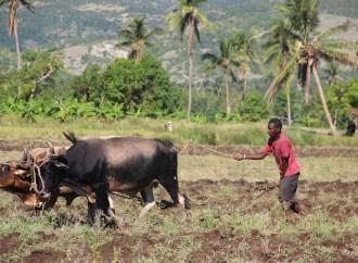 Artibonite : l'élevage libre exaspère le maire de la commune