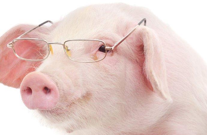 République dominicaine-Peste porcine : Le ministère de l'Agriculture appelle à la prudence, prend des mesures
