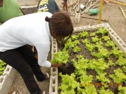 rachelle harvesting salad bowl lettuce