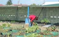rochelle harvesting swiss chard