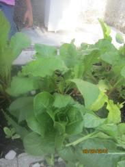romaine lettuce & radish