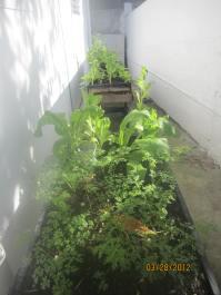 parsley & lettuce
