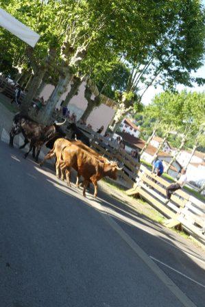 course de vaches