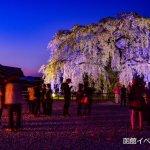 桜ライトアップ「北斗市桜回廊」2016年は早めにスタート!