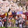 2017年、函館公園の露店と五稜郭公園の花見電飾はいつからいつまで?