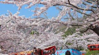 【2019/4/27~5/12】函館公園の露店と函館公園・五稜郭公園の花見電飾